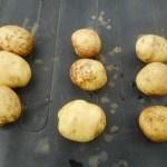 ジャガイモ:キタアカリの収穫