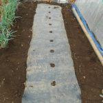 マクワウリ(2):畝をつくり、黒マルチを張る