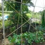 秋キュウリ:園芸ネット張り・蔓の誘引