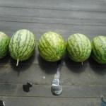 中玉スイカ:2番生りの収穫を終える