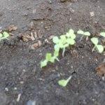 サニーレタス(3):発芽が始まる