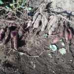 サツマイモ:ベニアズマの収穫を始める