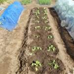 移植菜花:苗の移植