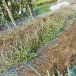 落花生:半立ちの収穫