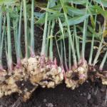 ショウガ:新ショウガの収穫を始める