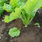 移植菜花:追肥を施す