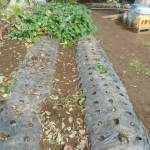 サツマイモ:ベニアズマ・ベニハルカ・安納イモの蔓切り