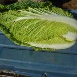 白菜:収穫を始める