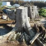 菜園日記:榎の木の伐採
