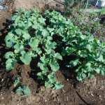 のらぼう菜:除草・追肥・土寄せ