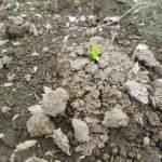 そら豆:再播種した種の発芽が始まる