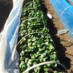 小松菜(2):収穫を始める
