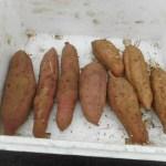 サツマイモ:種イモの伏せ込み