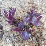 サツマイモ:種イモの発芽が始まる