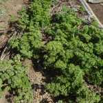 パセリ:収穫を再開する