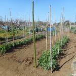 スナップエンドウ:真竹支柱を立てる