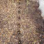 唐辛子(鷹の爪):踏込み温床に再播種