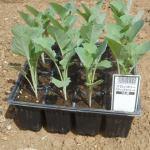 スティックブロッコリー:苗の植付け