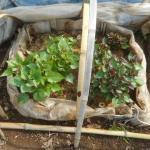 サツマイモ:踏込み温床の苗を日光に曝す