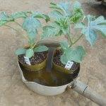 大玉スイカ:苗の植付け