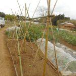 ヤマイモ:合掌式支柱を立てる