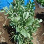 そら豆:着莢側枝の摘芯