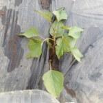 サツマイモ:1回目の植付け
