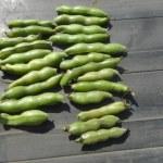 そら豆:収穫を始める
