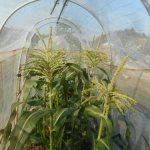 トウモロコシ(1):雌花開花・授粉開始