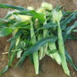 トウモロコシ(1):2段目の莢を欠き取る