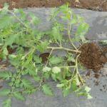 ミニトマト(3):自家製苗の植付け(寝かせ植え)