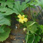 ゴーヤ:雄花の開花が始まる