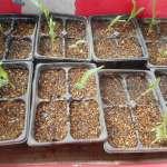 トウモロコシ(2):発芽率が悪いので再播種