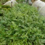 大玉スイカ:3回目の追肥を施す