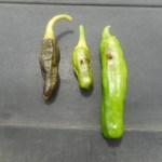 シシトウ:タバコガの食害が始まる