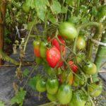 ミニトマト(2):収穫を始める