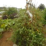 ミニトマト(1):木下ろしを行う