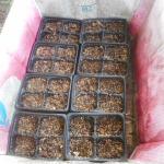蔓ありインゲン(2):4連ポットに播種
