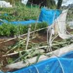 トウモロコシ(2):.ハクビシン対策