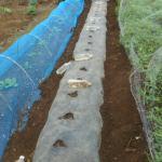 移植白菜:畝づくり