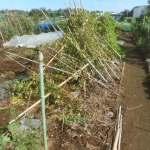 ヤマイモ:合掌式支柱の解体