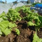 移植菜花:1回目の追肥