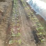 イチゴ:苗の植付け(2)