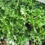 水菜・からし菜・チンゲンサイ:水菜の収穫を始める