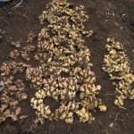 ショウガ:全てのショウガを収穫し貯蔵する