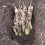 冬ダイコン(1):青首ダイコンを畑に貯蔵する