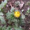 菜園日記:福寿草の開花