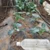 秋播きスティックブロッコリー:防虫ネットのトンネルに切り替える