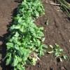 ホウレン草(4):収穫を終える