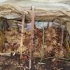 サトイモの育苗:芽出し床に2回目の潅水をする